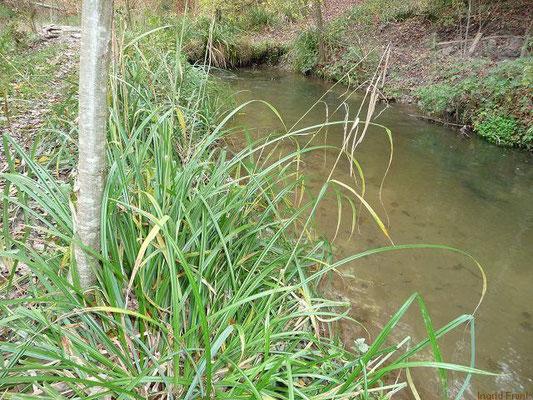 01.11.2010-Carex pendula - Hänge-Segge, Riesen-Segge