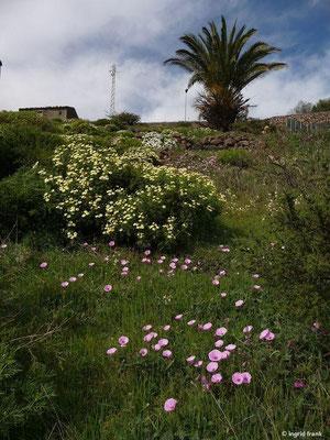 im Vordergrund: Convolvulus althaeoides - Eibischblättrige Winde