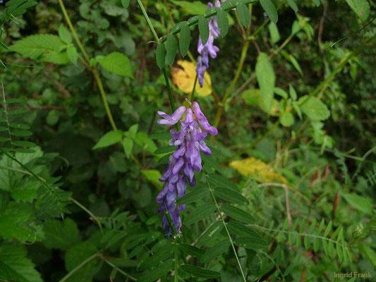 Vicia cracca ssp. cracca / Gewöhnliche Vogel-Wicke