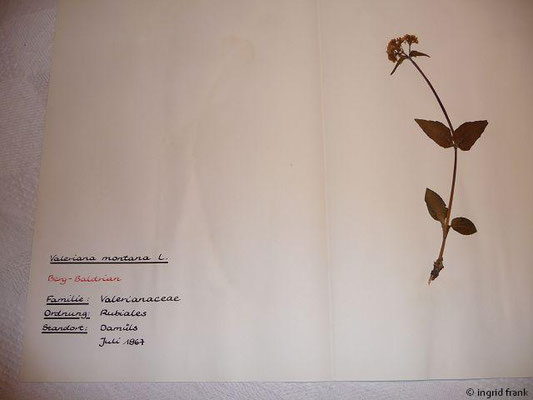 Valeriana montana / Berg-Baldrian