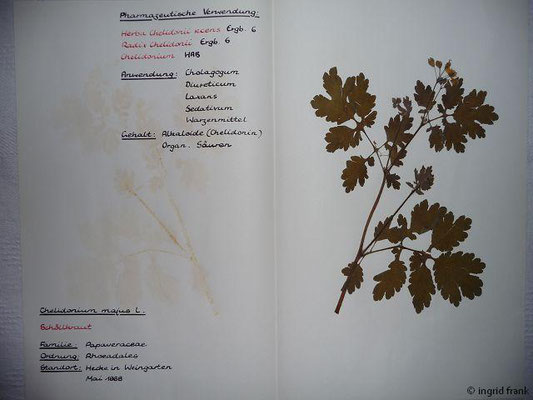 (44) Chelidonium majus - Schöllkraut