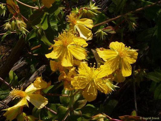 Hypericum perfoliatum - Durchwachsenblättriges Johanniskraut (Griechenland)    (III-VI)