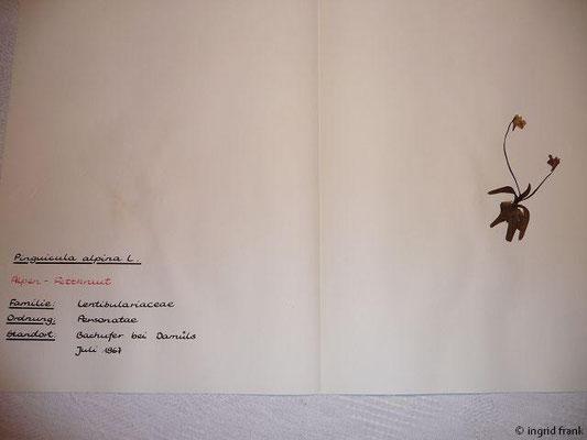 (112) Pinguicula alpina - Alpen-Fettkraut