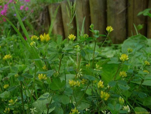 11.05.2012-Trifolium dubium - Zwerg-Klee