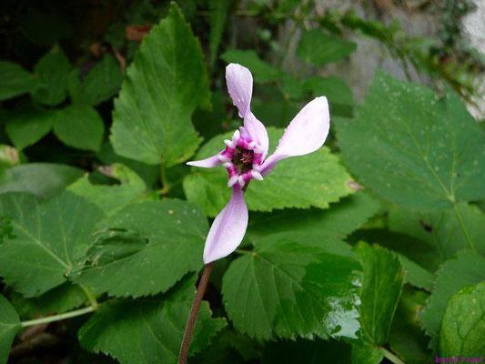 Cyclamen hederifolium - Efeublättriges Alpenveilchen (im eigenen Garten)