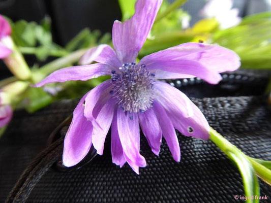 Anemone hortensis / Stern-Anemone    II-IV    (Südliche Poebene)
