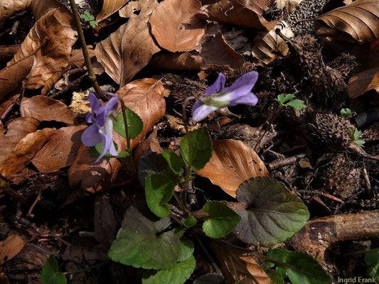 Viola riviniana / Hain-Veilchen