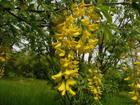 Laburnum anagryoides / Gewöhnlicher Goldregen (Botanischer Garten Berlin)