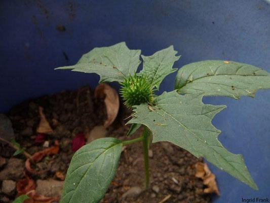 Datura stramonium - Weißer Stechapfel