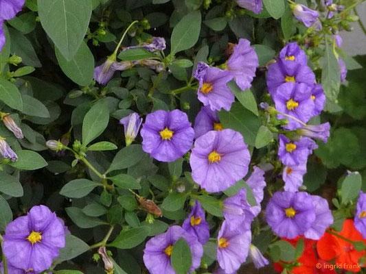 Solanum rantonettii - Blauer Kartoffelstrauch, Enzianstrauch