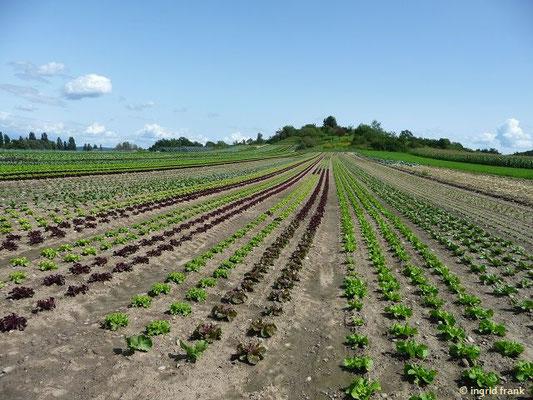 Salatanbau (Lactuca sativa)