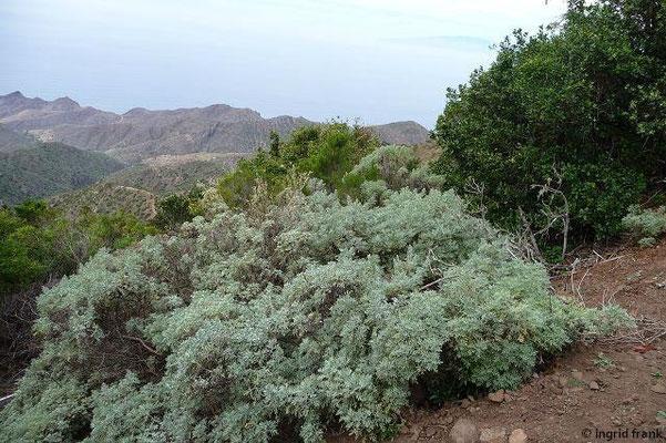 Artemisia canariensis - Kanaren-Beifuß