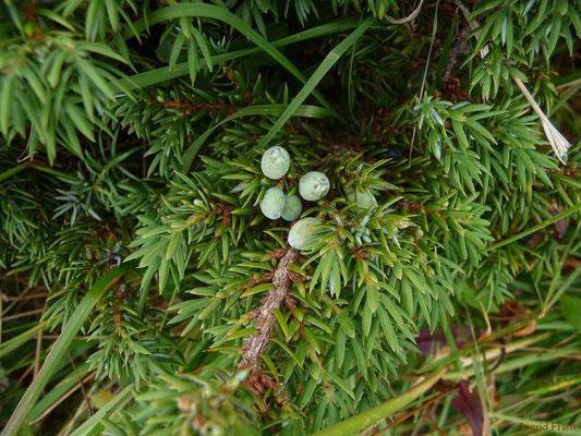 Juniperus communis ssp.alpina - Zwerg-Wacholder