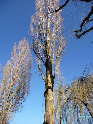Populus nigra - Schwarz-Pappel