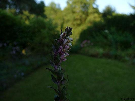 Odontites vulgaris - Gewöhnlicher Zahntrost, Roter Zahntrost