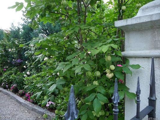 25.06.2012-Staphylea pinnata - Gewöhnliche Pimpernuss