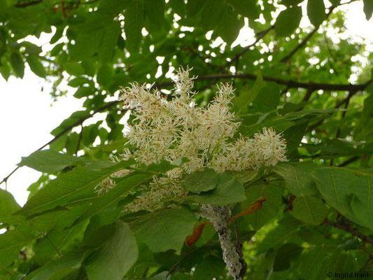 Fraxinus ornus - Manna-Esche, Blumen-Esche