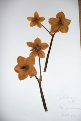Helleborus niger - Schwarze Nieswurz, Christrose, Schneerose    (XII-)I-IV