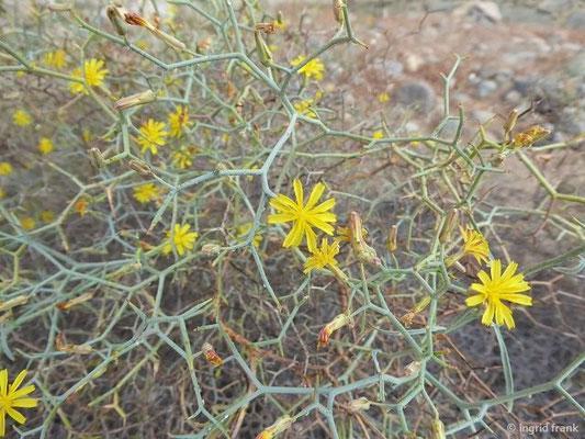Launaea arborescens - Strauch-Dornlattich