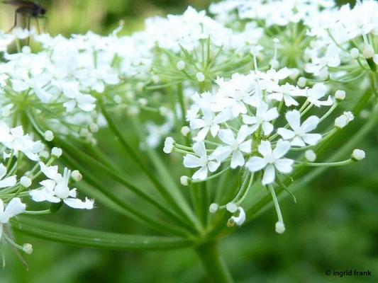 Chaerophyllum hirsutum - Rauhaariger Kälberkropf