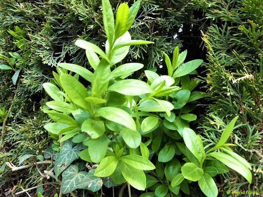 Jasminum nudiflorum - Winter-Jasmin (Weingarten, Konrad-Huber-Straße)