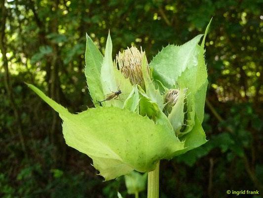 Cirsium oleraceum / Kohl-Kratzdistel