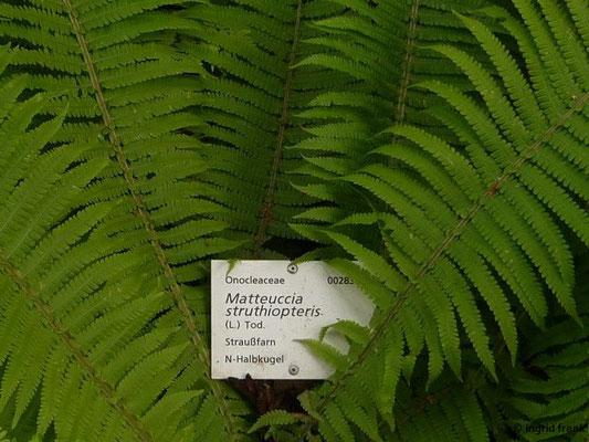 Matteucia struthiopteris - Straußenfarn