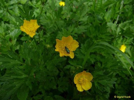 Ranunculus repens / Kriechender Hahnenfuß