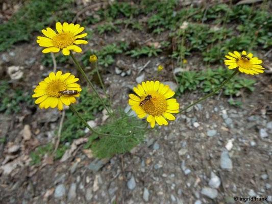 Anthemis tinctoria - Färber -Hundskamille