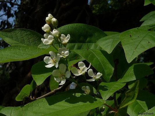 Prunus padus - Gewöhnliche Traubenkirsche    IV-V