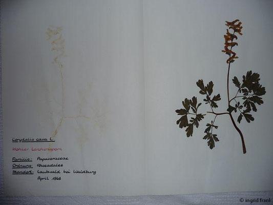 (46) Corydalis cava - Hohler Lerchensporn