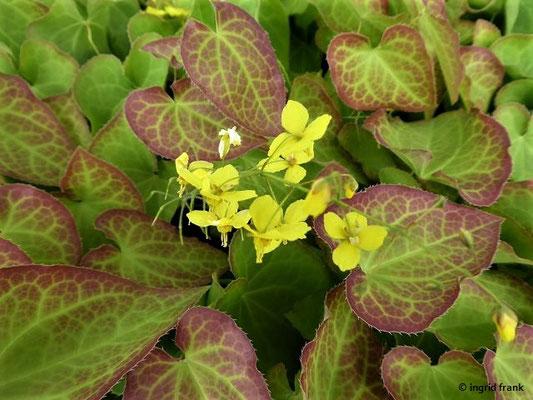 Epimedium - Elfenblume (Zierpflanze)