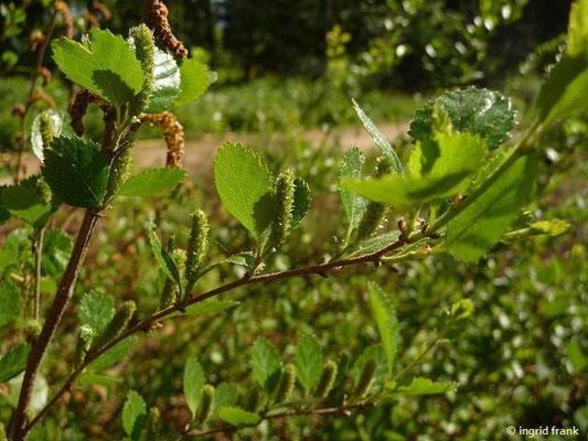 Betula humils / Niedrige Birke
