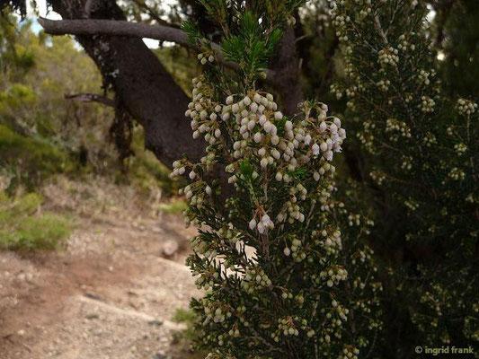 Erica arborea - Baum-Heide