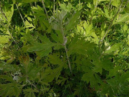 Artemisia princeps - Japanisches Moxakraut