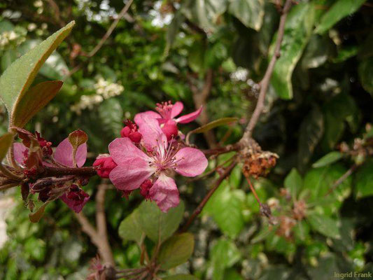 Prunus armeniaca - Aprikose    III-IV