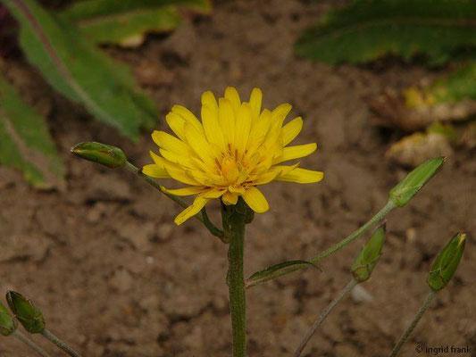 Scorzonera hispanica - Garten-Schwarzwurzel