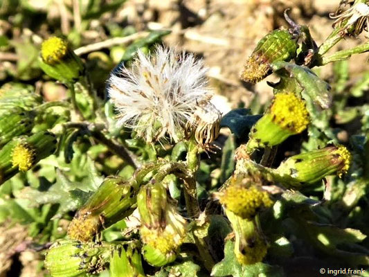 Senecio vulgaris - Gewöhnliches Greiskraut