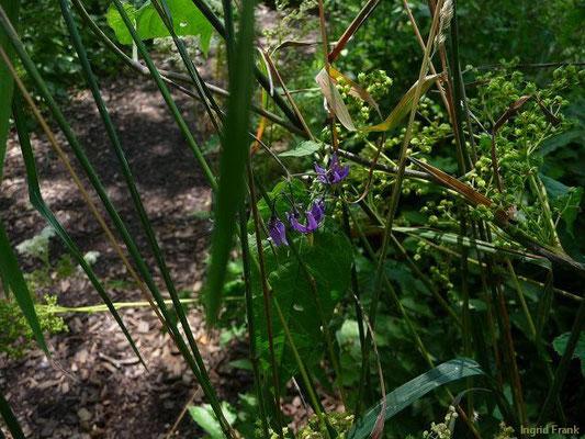 14.07.2012-Solanum dulcamara - Bittersüßer Nachtschatten