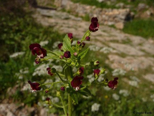 Scrophularia peregrina - Fremde Braunwurz (Griechenland)