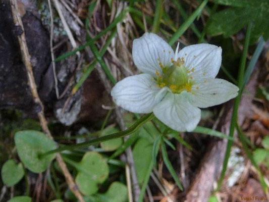 Parnassia palustris - Sumpf-Herzblatt