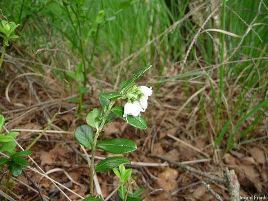 Vaccinium vitis idaea / Preiselbeere