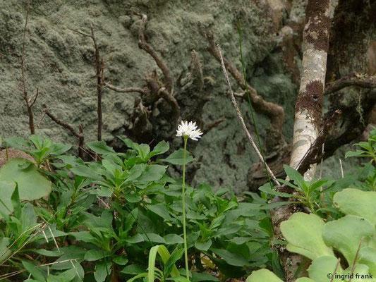 Allium roseum - Rosen-Lauch