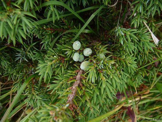 Juniperus communis ssp. alpina - Zwerg-Wacholder    VII-VIII  (fremdländische Pflanze; Kanaren, Madeira, endemisch)