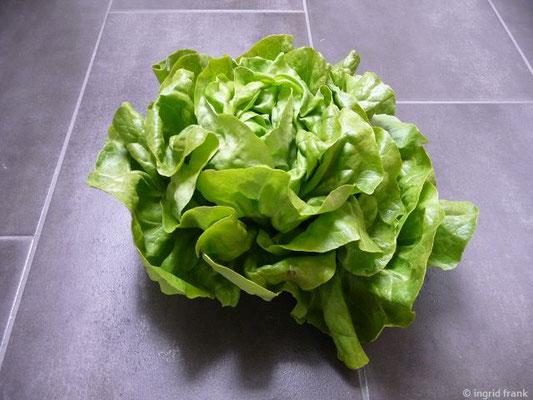 Lactuca sativa / Grüner Salat    VI-VIII
