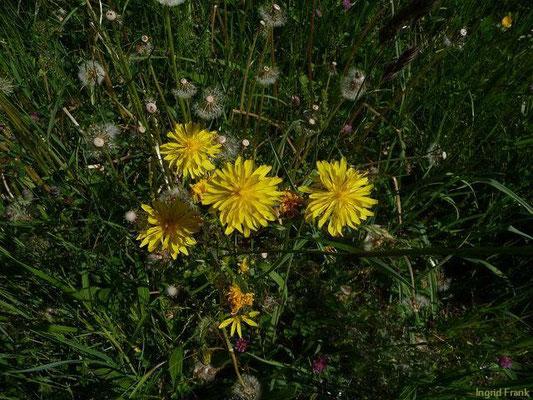 09.05.2011-Crepis biennis - Wiesen-Pippau