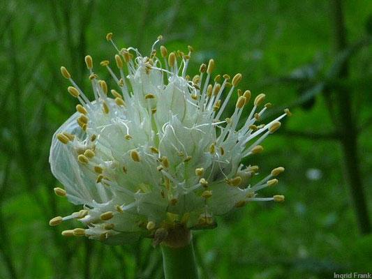 Allium fistulosum / Winter-Zwiebel   VI-VIII
