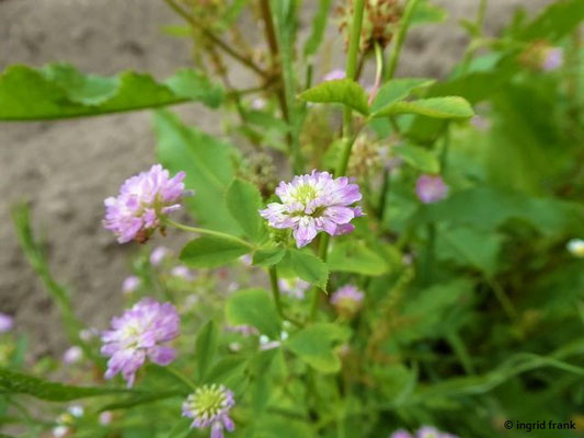 Trifolium resupinatum / Wende-Klee