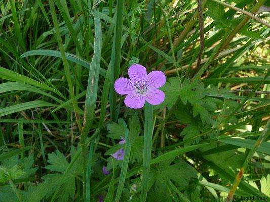 Geranium palustre / Sumpf-Storchschnabel
