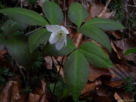 Anemone trifolium / Dreiblättriges Windröschen   V    (Südtirol)